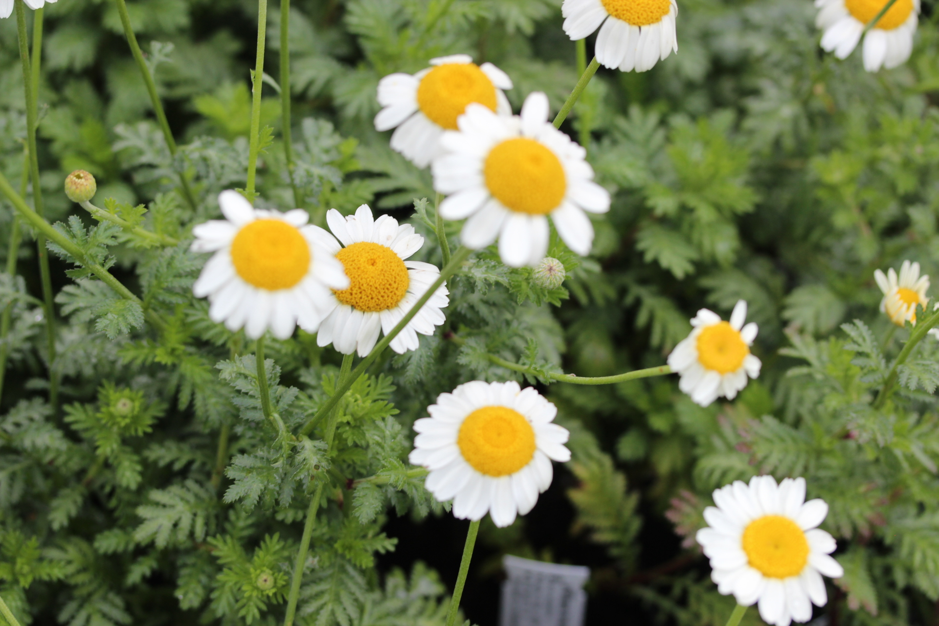 Anthemis thriumphettii