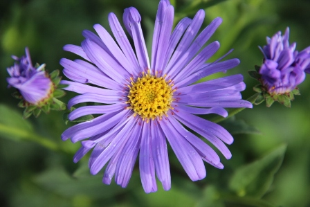 Aster ' Litlle Carlow'